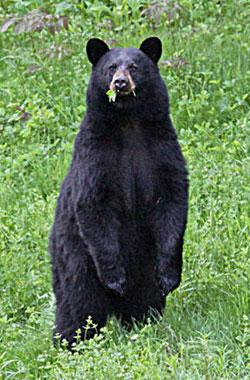 N.H. black bear - Duane Cross photo